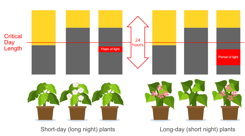 Controling flowering by controlling day to night ratio