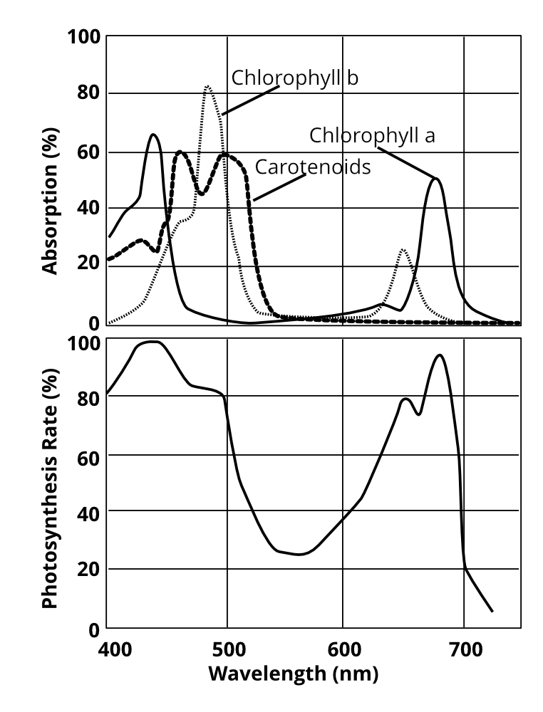 Absorption and photosynthesis rates in relation to wavelengths