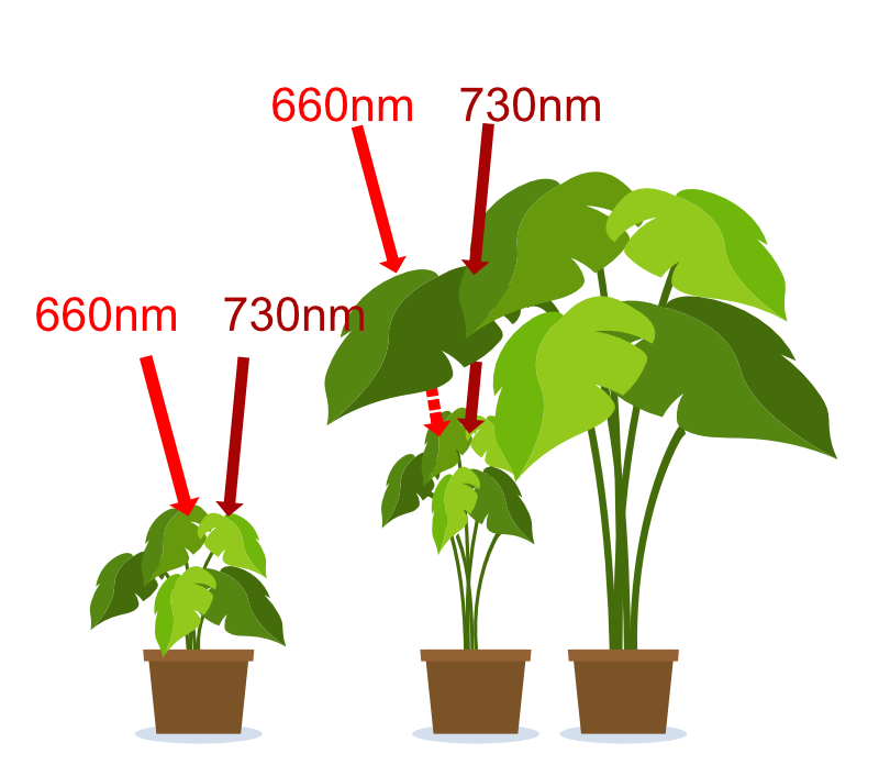 Different responses of plants to different red to far-red ratios